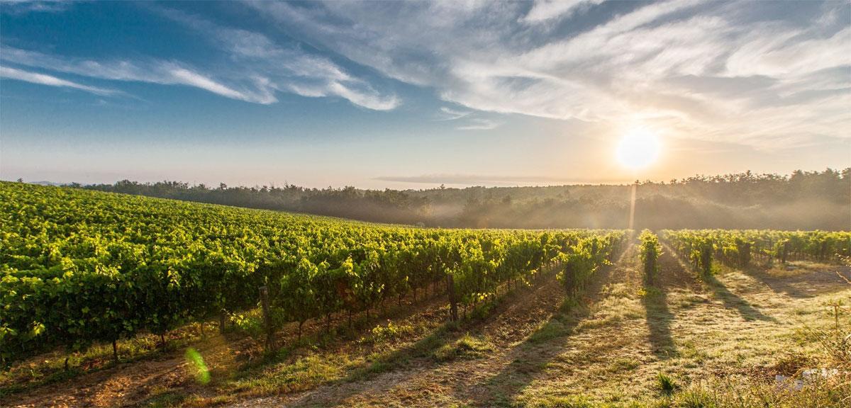 Abruzzo vines